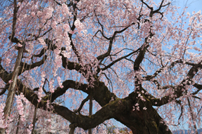 飯田・舞台桜