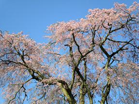 郡山・忠七桜