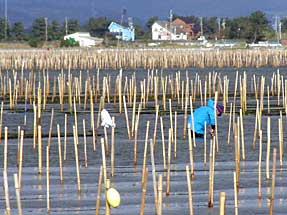 海苔の養殖