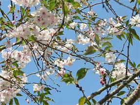ジュウガツザクラ(十月桜)