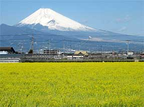 富士と菜の花