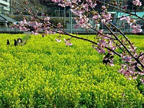 南伊豆の菜の花
