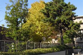 徳川慶喜邸跡の大銀杏
