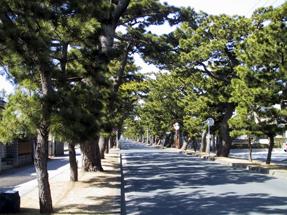 舞坂宿・松並木