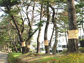 東海道・松並木
