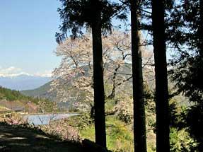 駒つなぎの桜(東山道)