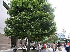 市民の木・JR浜松駅北口広場にて