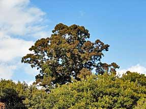 山中城跡・矢立の杉