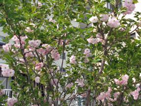 シーボルトの桜