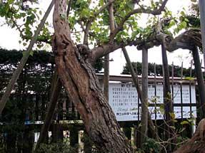 野口英世・生家・母シカが植えた桑の木