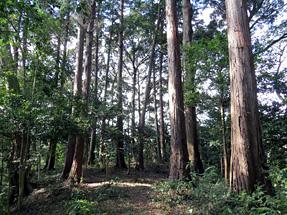 豊田佐吉の生家・ひのき林